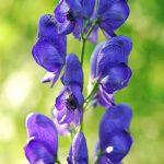 Moonkshood Flower